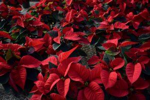 Poinsettias Stockslagers