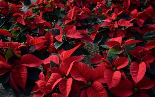 Poinsettias Stockslagers