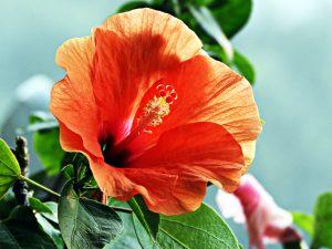 hibiscus flowers dayton ohio