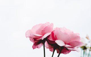 planting roses in ohio