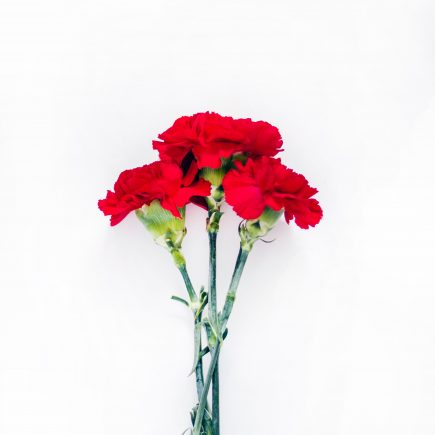 The Story of the Carnation: Ohio's State Flower