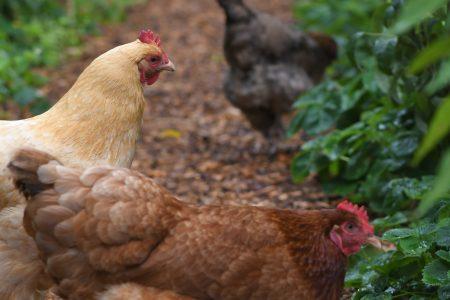 Best plants for chicken run