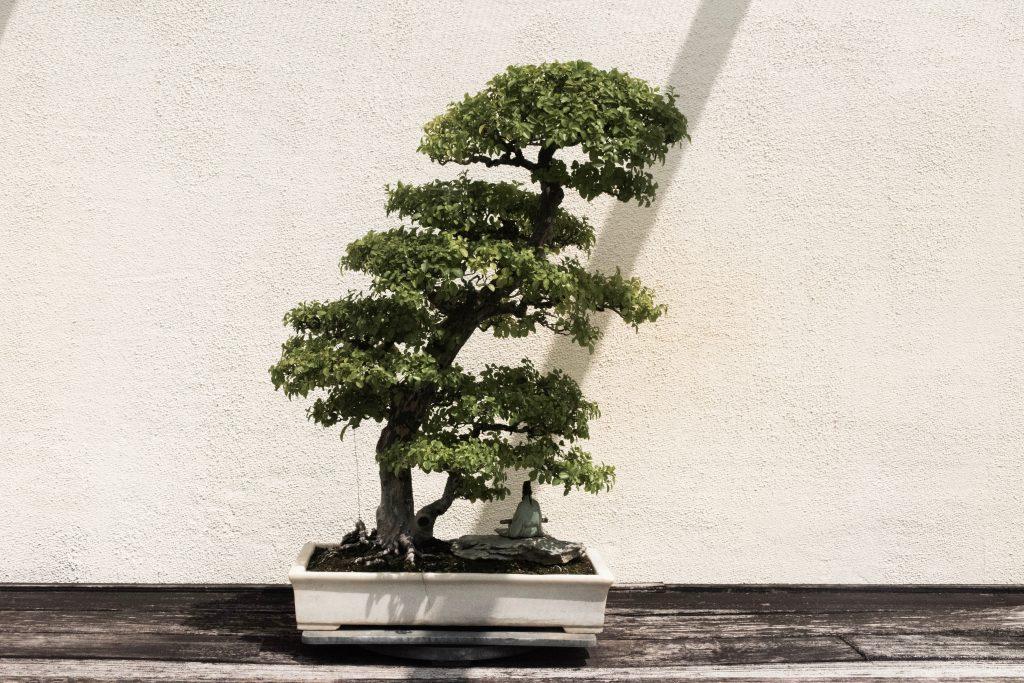 history of bonsai trees