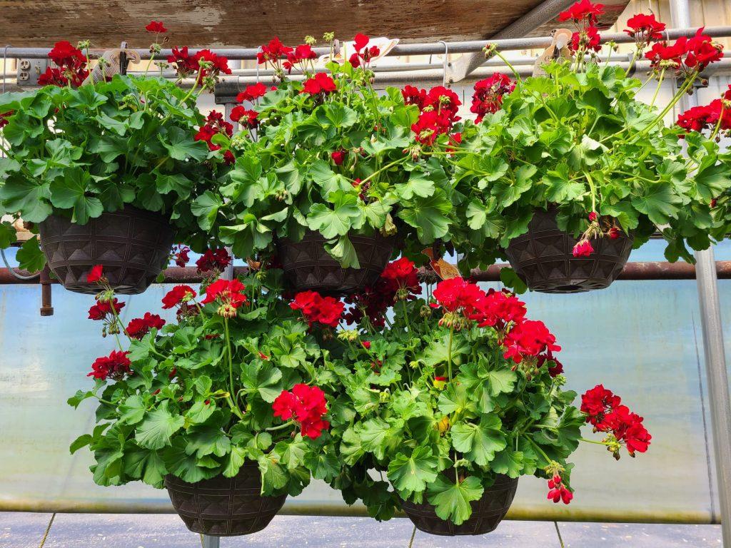 Calliope Hybrid Geraniums - rarest flowering hanging baskets in Dayton Ohio