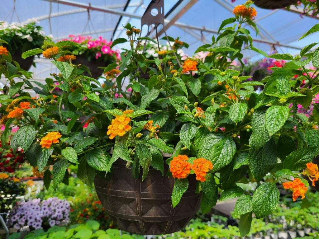 lantana - the lucky series -- rarest flowering hanging baskets in dayton ohio
