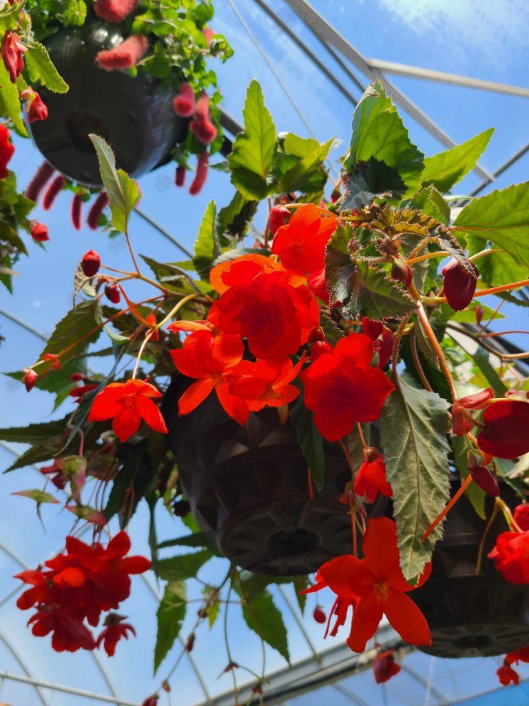 Illuminator Begonias - rarest flowering hanging baskets in Dayton Ohio