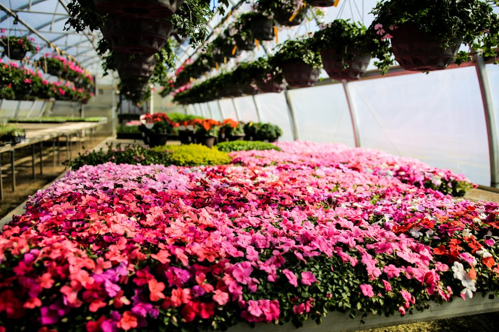 Impatiens at stockslagers greenhouse and garden center near dayton