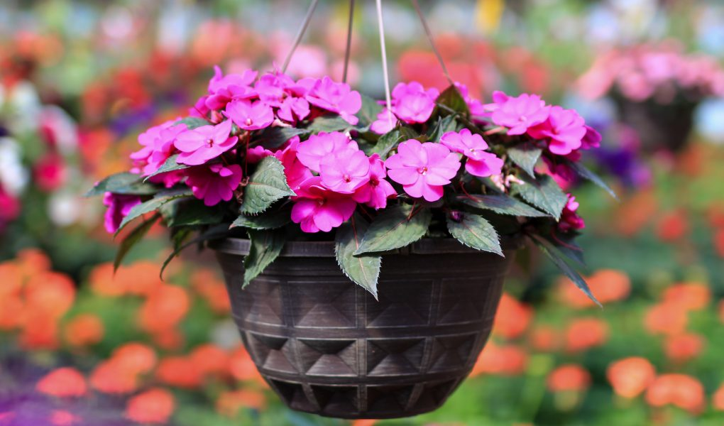 Impatiens hanging basket at stockslagers greenhouse and garden center near dayton