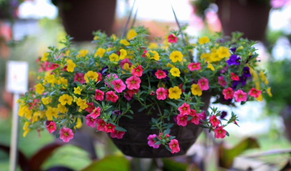 Petunia hanging baskets at Stockslagers Greenhouse near Dayton
