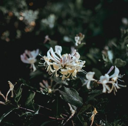 honeysuckle is an invasive plant species to ohio
