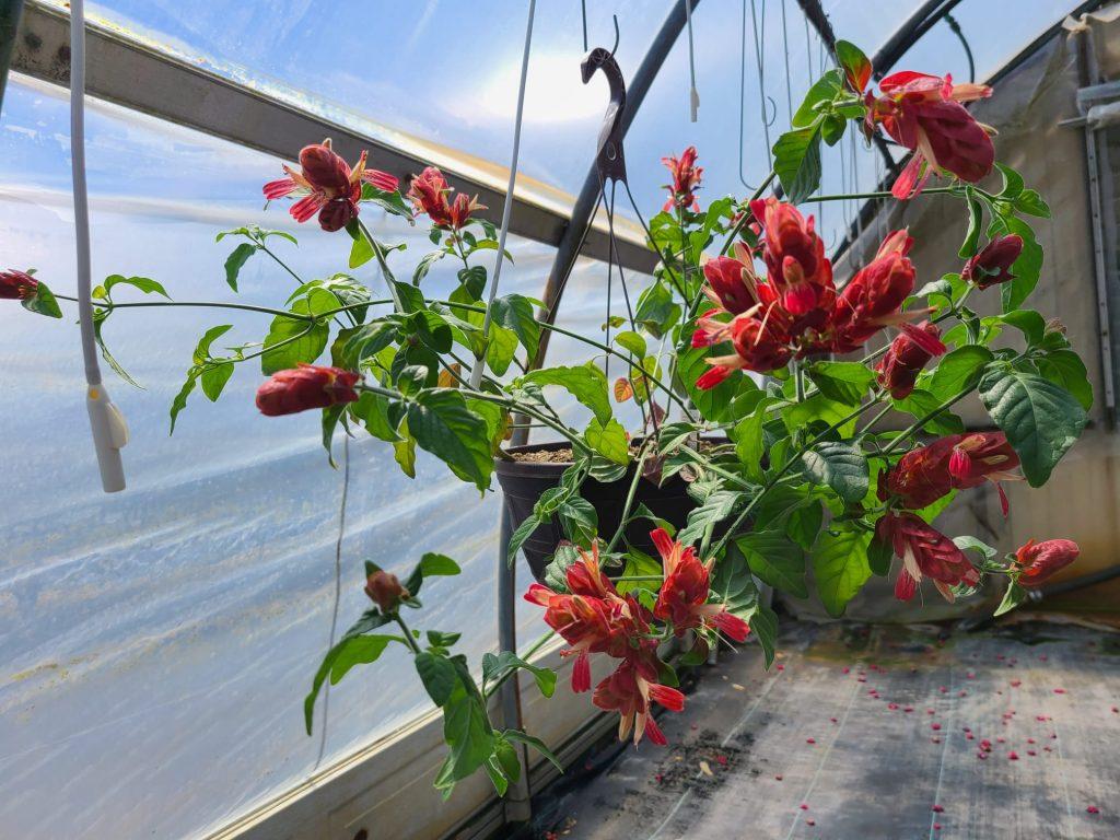 Justicia Brandegeeana Aka Red Shrimp plant