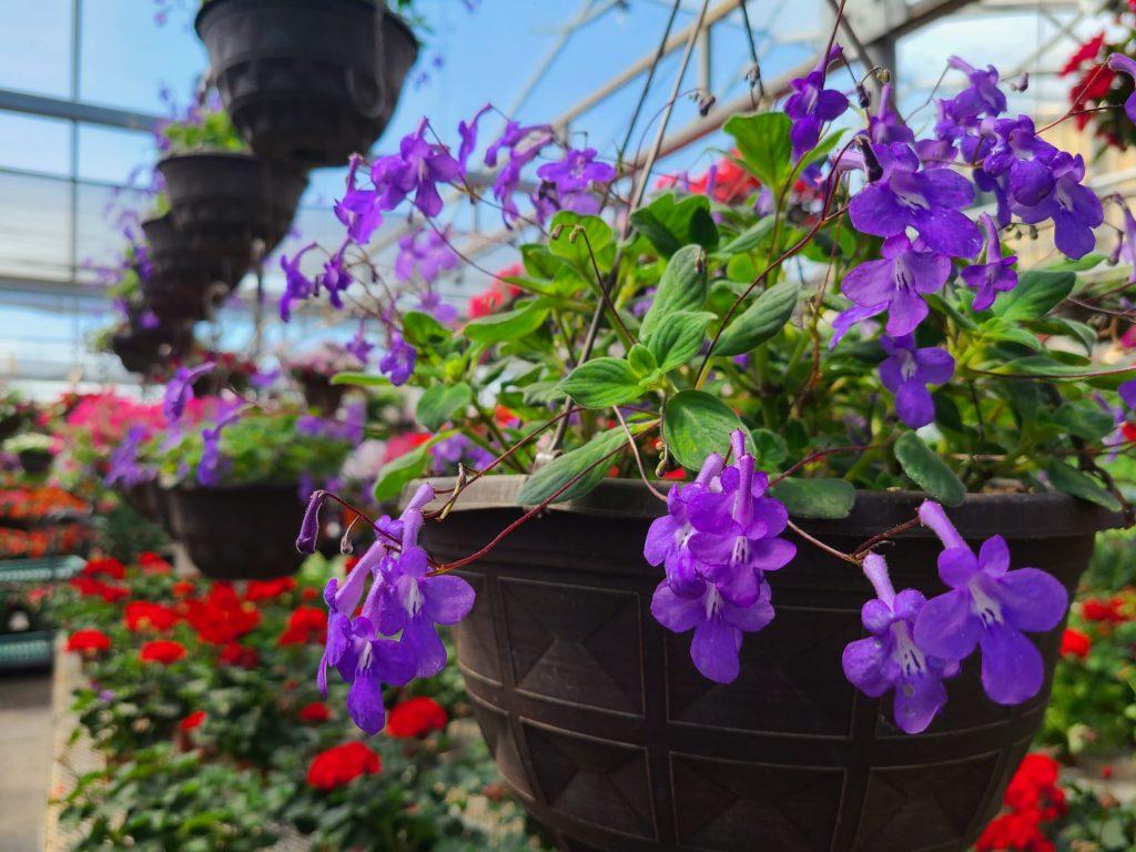 False African Violets -- rarest hanging baskets in Dayton Ohio