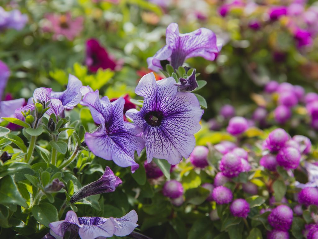 Petunias are sun-loving flowers that grow well in Zone 6 Ohio